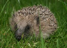 photo of a hedgehog on grass